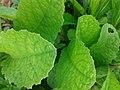 சர்க்கரைத் துளசி- Stevia rebaudiana 1.jpg