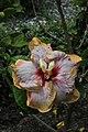 ชบา Hibiscus rosa-sinensis L. Photographs by Peak Hora (12).jpg