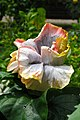 ชบา Hibiscus rosa-sinensis L. Photographs by Peak Hora (14).jpg