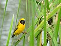 นกกระจาบทอง Asian Golden Weaver by Peak Hora 02.jpg