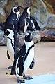 アドベンチャーワールドのペンギン 白浜にて 2014.1.03 - panoramio.jpg