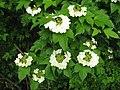 カンボク2 Viburnum opulus var. calvescens.JPG