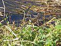 キセキレイ (黄鶺鴒) (Grey Wagtail) (Motacilla cinerea) (23372565665).jpg