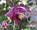 暗花耬斗菜 Aquilegia atrata -維也納大學植物園 Vienna University Botanical Garden- (9200908488).jpg
