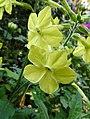 煙草花 Nicotiana 'Perfume Lemon Green' -深圳花展 Shenzhen Flower Show, China- (39572662184).jpg
