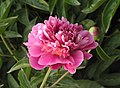 芍藥-百花粉 Paeonia lactiflora 'Hundred-Flower Pink' -瀋陽植物園 Shenyang Botanical Garden, China- (12380138255).jpg