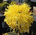 菊花-黃管飛 Chrysanthemum morifolium 'Yellow Tubes Flying' -中山小欖菊花會 Xiaolan Chrysanthemum Show, China- (12129360133).jpg