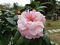 雲南山茶-完全重瓣型 Camellia reticulata Formal Double Form -深圳園博園茶花展 Shenzhen Camellia Show, China- (9193426470).jpg