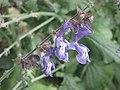 鼠尾草屬 Salvia forskahlei -倫敦植物園 Kew Gardens, London- (9198100335).jpg