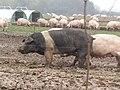 -2019-10-31 Free range pigs, Southrepps (1).JPG