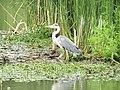 -2020-06-10 Grey Heron (Ardea cinerea), Paston, Norfolk (1).JPG