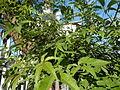 0758jfRoad Pampanga Mexico Pampanga Santo Cristo Lagundi Vitex negundofvf 12.JPG