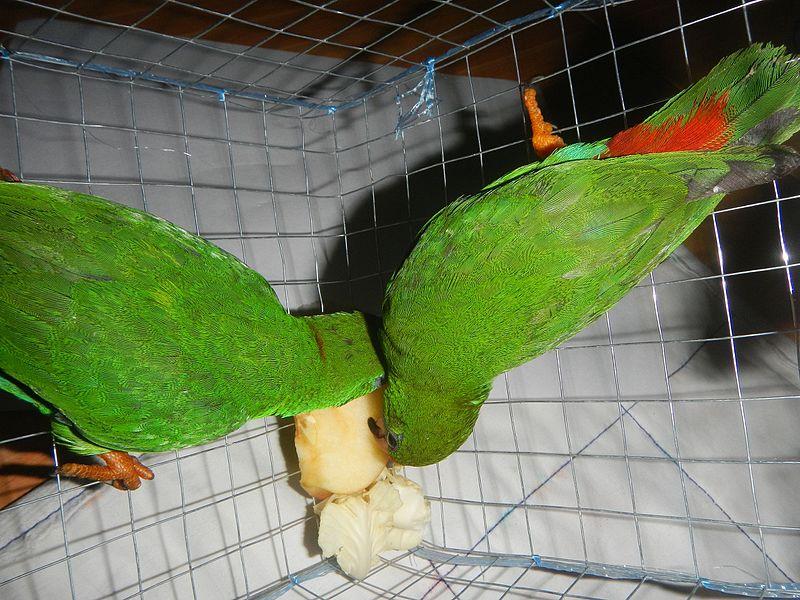 File:09949jfPhilippine Hanging Parrot Bulacanfvf 10.jpg