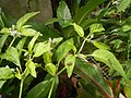 0998Ornamental plants in the Philippines 20.jpg