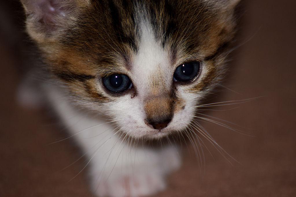 lps shorthair cat customs