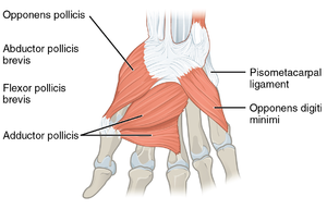 Pisometacarpal ligament - Deep muscles of the right hand, with pisometacarpal ligament at top right. Dorsal view.