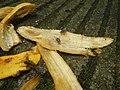 1400Common houseflies eating Bananas 01.jpg