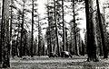 1921. Investigating pandora moth (Coloradia pandora) defoliation of a yellow pine stand north of Kirk, Oregon. Klamath Indian Reservation. (33607840005).jpg