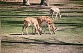 2002-04-28 5342 Gänserndorf junge Nilgauantilopen.jpg