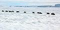 2007 Snow-Hill-Island Luyten-De-Hauwere-Emperor-Penguin-92.jpg