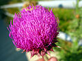 2008 06 20 - 3627 - Annapolis Junction - Flower (3435529152).jpg