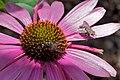 2009-365-202 Two Flies Walking onto a Flower - (3744485595).jpg