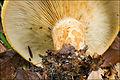2010-10-07 Lactarius scrobiculatus (Scop.) Fr 119555.jpg