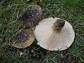2011-09-17 Lactarius turpis (Weinm.) Fr 169821.jpg
