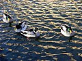 20110125 Ducks in pond of Raadhuis Hilversum. 02.JPG