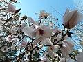 20110418 UBCBG MagnoliaSargentiana Cutler P1100276.jpg