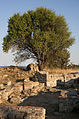 20110914 Polystylon Abdera Xanthi Thrace Greece 2.jpg