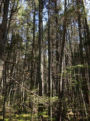 "Pine Barrens (New Jersey) - A dense ""Atlantic White Cedar swamp"" in the New Jersey Pine Barrens"