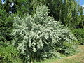 20140622Elaeagnus angustifolia1.jpg