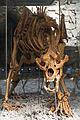 2015 Jaskinia Niedźwiedzia w Kletnie, szkielet niedźwiedzia jaskiniowego 05.JPG