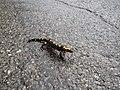 2016-03-xEM-xFanget salamandre(11).jpg