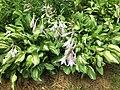 2016-07-13 09 29 29 Hosta blooming along Terrace Boulevard in Ewing, New Jersey.jpg
