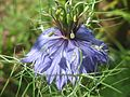 20160805Nigella damascena5.jpg