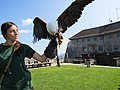 2017-09-09 (153) Haliaeetus vocifer (African fish eagle) at Oberkapfenberg castle.jpg