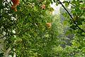 2017.05.13.063020 Kletterrose Regen Balkon Handschuhsheim Heidelberg.jpg