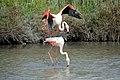 20170425 136 Camargue Flamingo (34333560521).jpg
