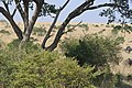 2017 Wildebeest migration Kenya 09.jpg