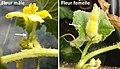2018-08-07 Fleurs de melon.jpg