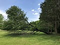 2019-05-23 14 45 15 A Cherry tree broken during a storm, with all the lower leaves having been eaten by deer, along a walking path in the Franklin Glen section of Chantilly, Fairfax County, Virginia.jpg