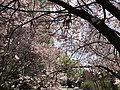 2020-03-22 13 09 38 View up into the canopy of an Autumn Cherry blooming along Lees Corner Road in the Franklin Farm section of Oak Hill, Fairfax County, Virginia.jpg