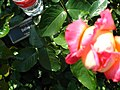 4547 - Bern - Rosengarten - Hybrid Tea leaves.JPG
