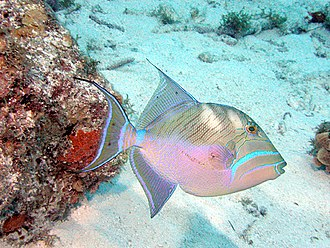 Triggerfish - Except for the elongated fins, the queen triggerfish is a typical triggerfish in appearance.