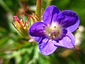 5705 - Schynige Platte - Flower.JPG