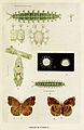 69-Indian-Insect-Life - Harold Maxwell-Lefroy - Ergolis-merione.jpg