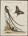 Aïthurus polytmus - 1700-1880 - Print - Iconographia Zoologica - Special Collections University of Amsterdam - UBA01 IZ19100229.tif