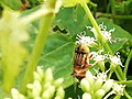 A Bee in Attidiya Wetland.jpg